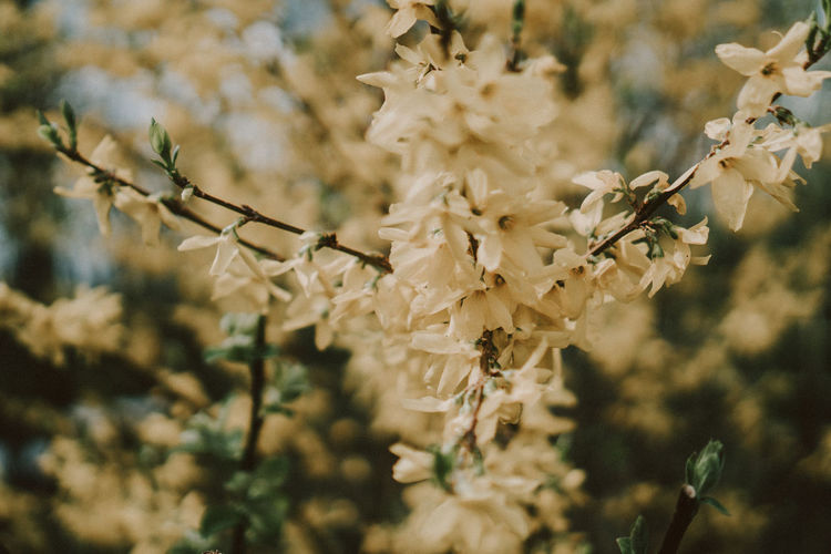 Beauty In Nature Blossom Branch Cherry Blossom Close-up Flower Flower Head Flowering Plant Focus On Foreground Fragility Freshness Growth Nature No People Outdoors Plant Pollen Selective Focus Springtime Tree Vulnerability