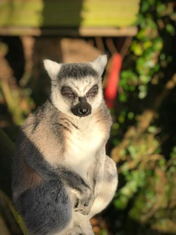 See no Evil Lemur One Animal Mammal Animal Themes Animals In The Wild Outdoors Focus On Foreground Lemur No People Day Looking At Camera Animal Wildlife Close-up Portrait Sunlight Tree Nature