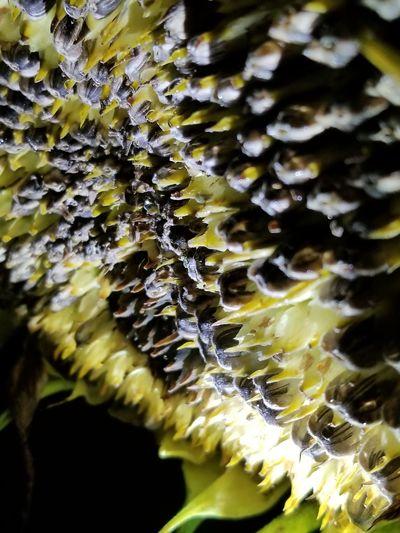 snowy sunflower