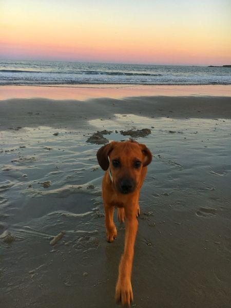 EyeEm Selects Beach Dog Sea Sand Sunset Nature Beauty In Nature Sky Mammal One Animal Domestic Animals Horizon Over Water Shore Pets Scenics Portrait Animal Themes Outdoors Water Tranquility
