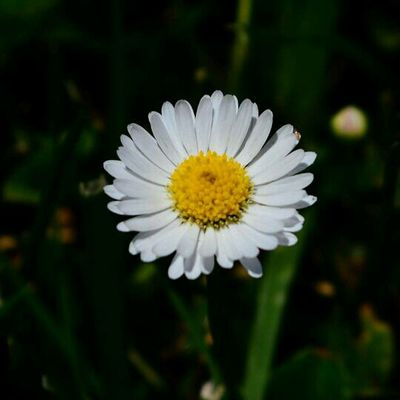 Pseudanthium Flower