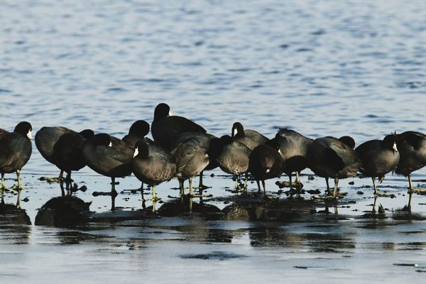 Coots Animals In The Wild Sea Large Group Of Animals Outdoors Day Animal Themes Nature