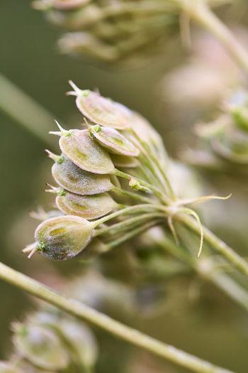 Close-up of fresh green flower bud