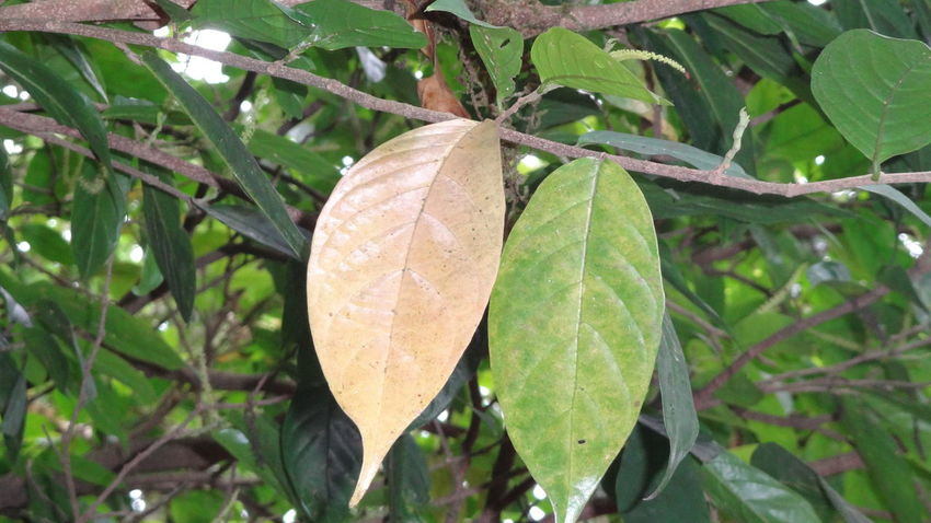 One Old and One Young Leaf! Beauty In Nature Beside Branch Brown And Green Close-up Contrast Focus On Foreground Green Color Leaf Leaf Vein Leaves Life Life Cycle Natural Pattern Nature No People Side Tranquility Tree Twig Two Leafs