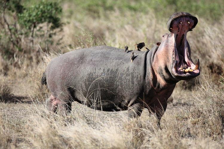 Africa Agressive. Animal Themes Grass Grassy Herbivorous Hipo Mammal Oxpecker Safari Animals Wildlife & Nature Wildlife Photography