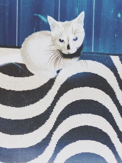 Space cat Negative Space Domestic Cat Pets Domestic Animals Feline Mammal Animal Themes