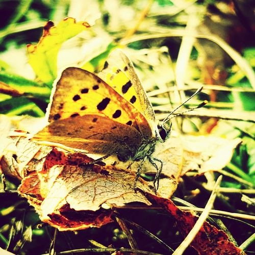 Butterfly Lycaena Phlaeas Small Copper Insects  Lepidoptera Wildlife Nature