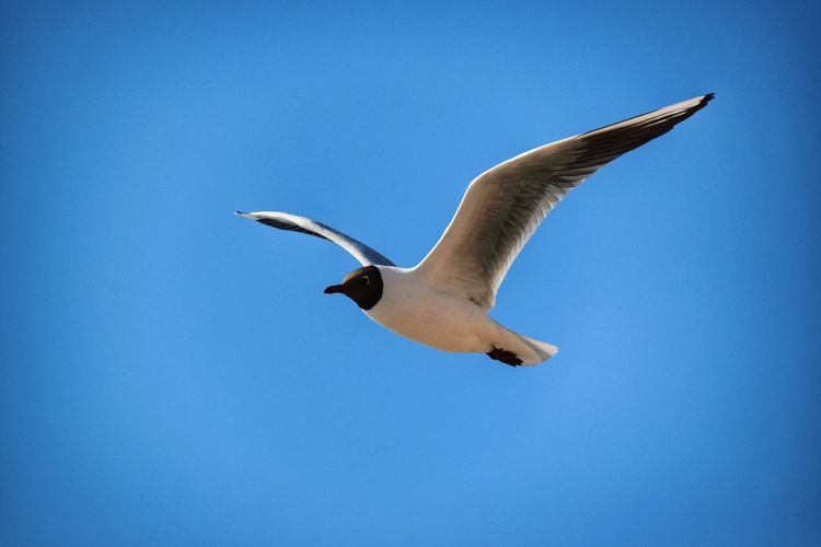 Blue Sky Nature Nature Photography Bird Spread Wings Flying Blue Animal Themes Sky Animal Wing Flapping Seagull Black-headed Gull Sea Bird