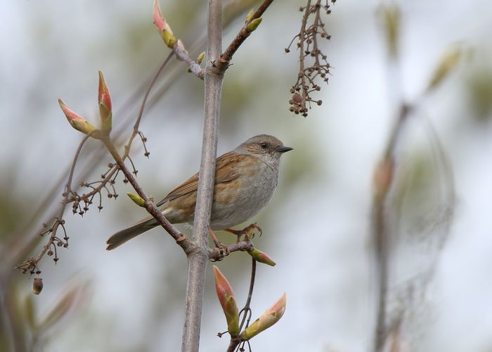 Dunnock (Prunella modularis) Bird Animal Animal Themes Animal Wildlife One Animal Animals In The Wild Plant Day Branch Tree Focus On Foreground Nature No People Close-up Beauty In Nature Outdoors Dunnock Prunella Modularis Hedge Accentor Hedge Sparrow