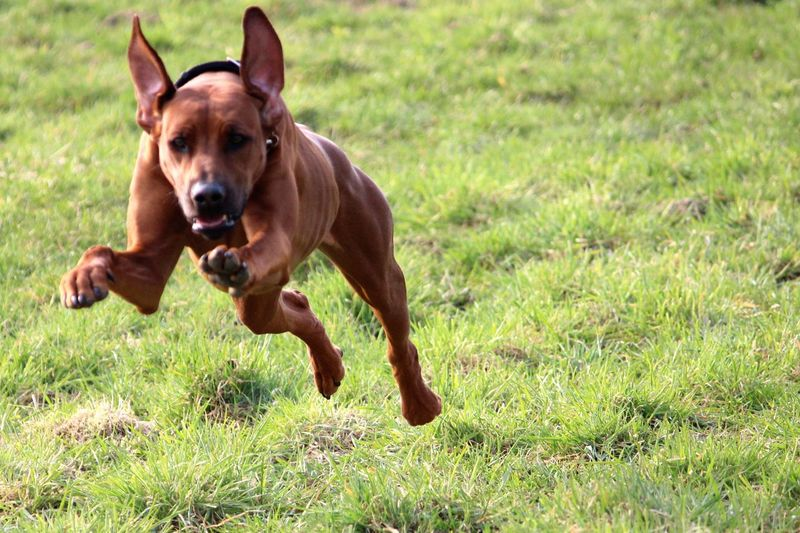 Front view of dog running on grass