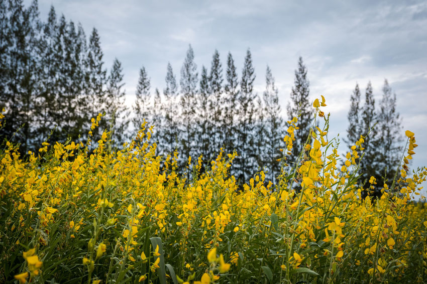 Beauty In Nature Cloud - Sky Crotalaria Juncea Day Field Flower Flowering Plant Growth Land Landscape Nature No People Non-urban Scene Outdoors Plant Scenics - Nature Sky Sunn Hemp Tranquil Scene Tranquility Tree Yellow