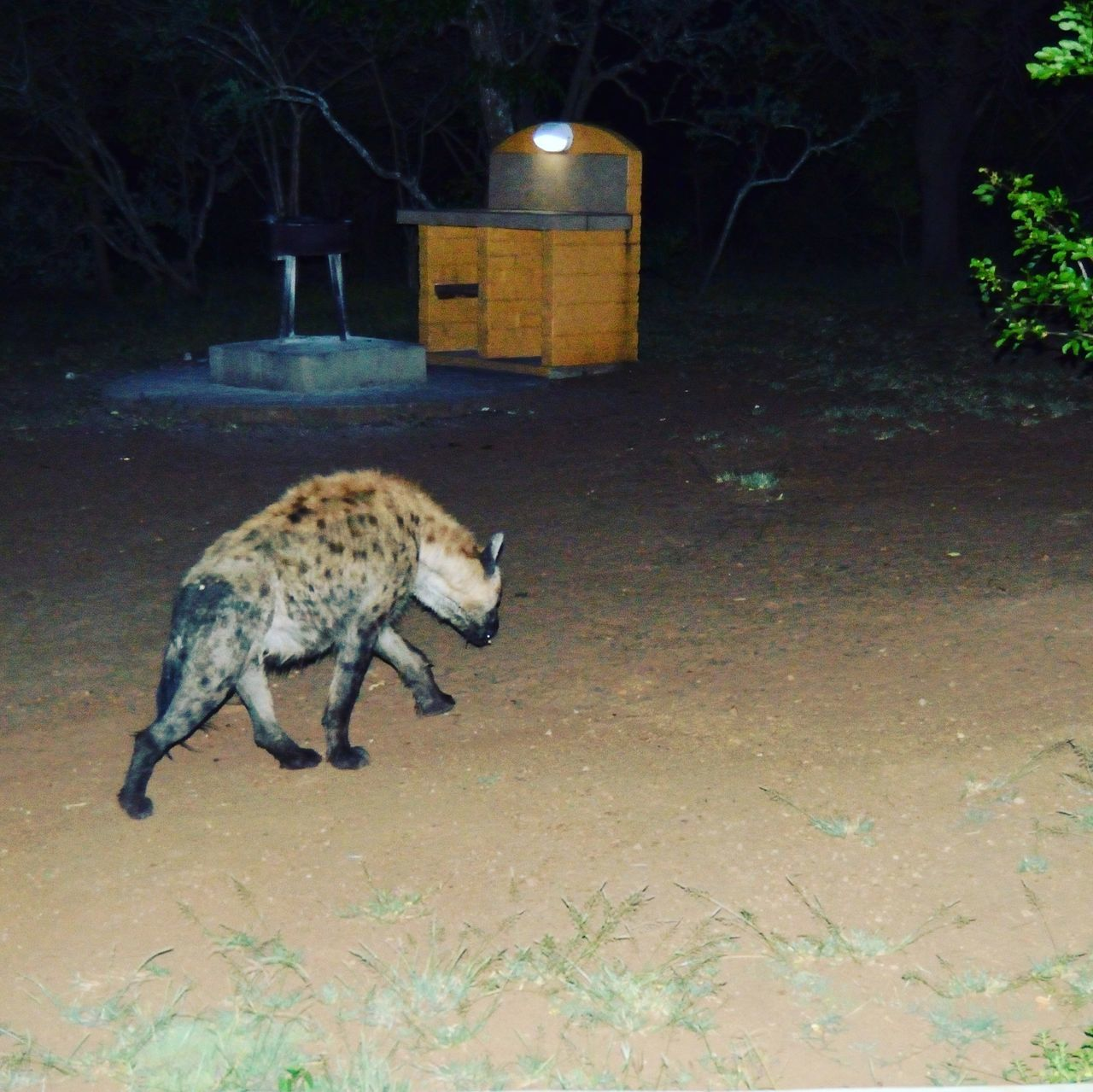 Hyena Walking By Built Structure In Forest At Night