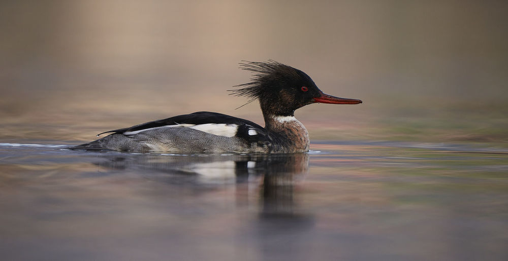 Side view of a bird swimming in lake