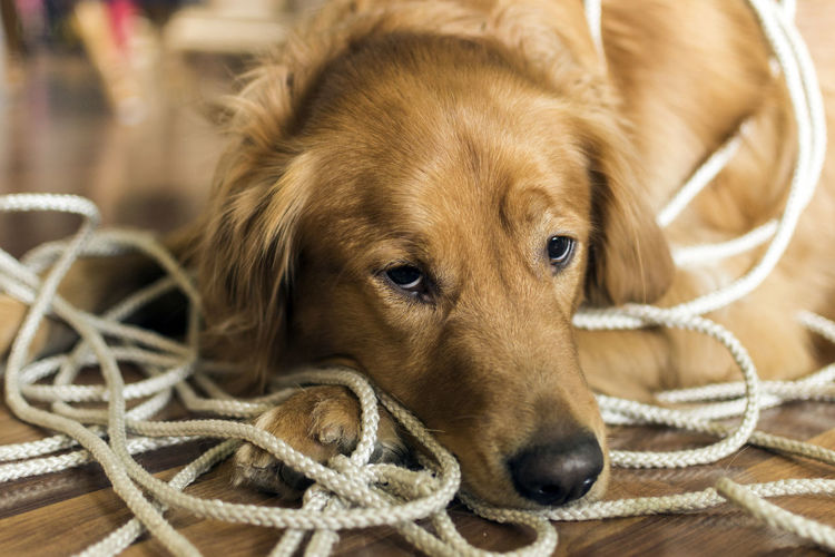 Close-up of dog relaxing by ropes on floor