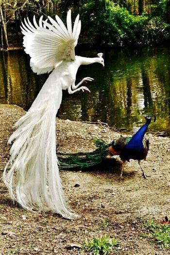 FightingSpirit Peacock Wonderful Greatest_shots Amazing Photo Unique Beauty Bird Photography Birds🐦⛅ Birds Of EyeEm  Birds In Flight