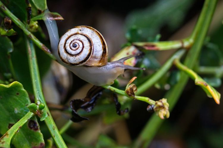 Branded snail, Cepaea hortensis Gastropod Cepaea Hortensis Snail Animal Animal Wildlife Animal Themes Invertebrate Close-up Mollusk Animals In The Wild Animal Animal Wildlife Animal Themes Invertebrate Close-up Mollusk Animals In The Wild