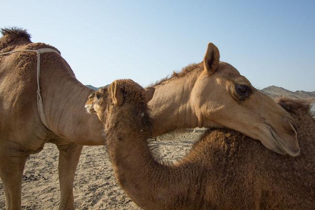 Two Camels Cuddling Each Other At A Desert In Outskirts Of Makkah Animal Body Part Animal Themes Architecture Beautiful Crowd Eid Eid Mubarak Hajj Islam Kaaba Mammal Man Mecca Medina Muslim Outdoors People Pilgrimage Ramadan  Ramadhan Religion Saudi Arabia Syawal Umrah Woman