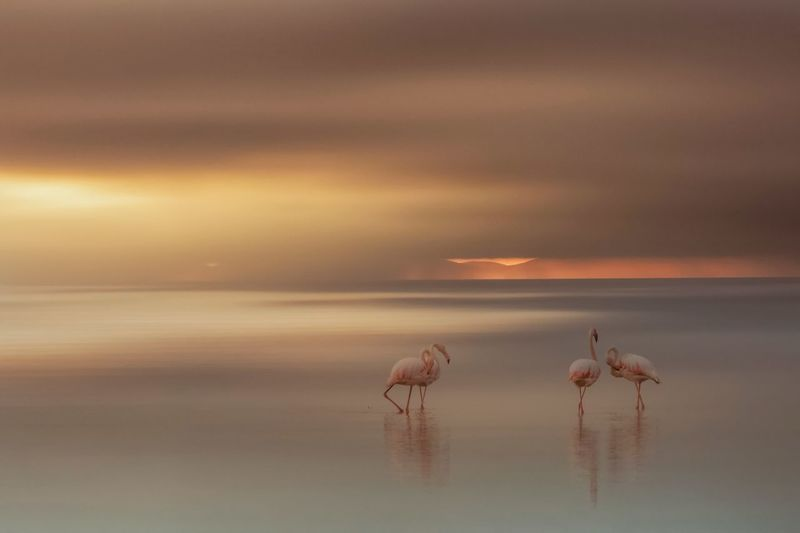 Flamingos in sea against cloudy sky during sunset