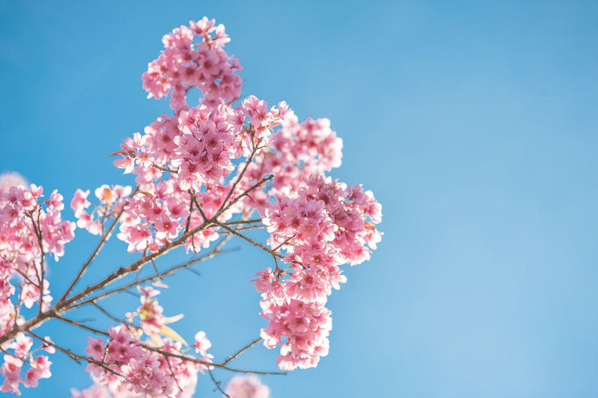 Japan Sakura Thailand Beauty In Nature Blossom Blue Branch Cherry Blossom Cherry Tree Clear Sky Flower Flower Head Flowering Plant Fragility Freshness Growth Low Angle View Nature Outdoors Petal Pink Color Plant Sky Springtime Tree