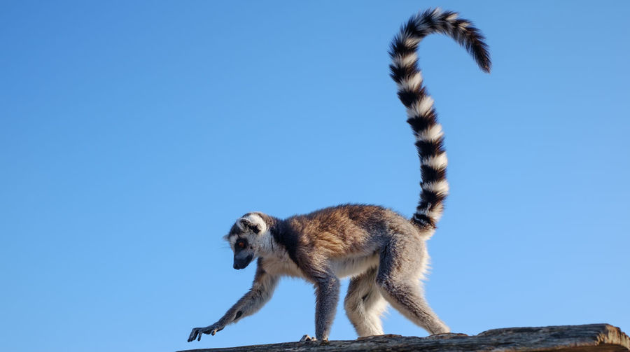 Low angle view of monkey against clear blue sky