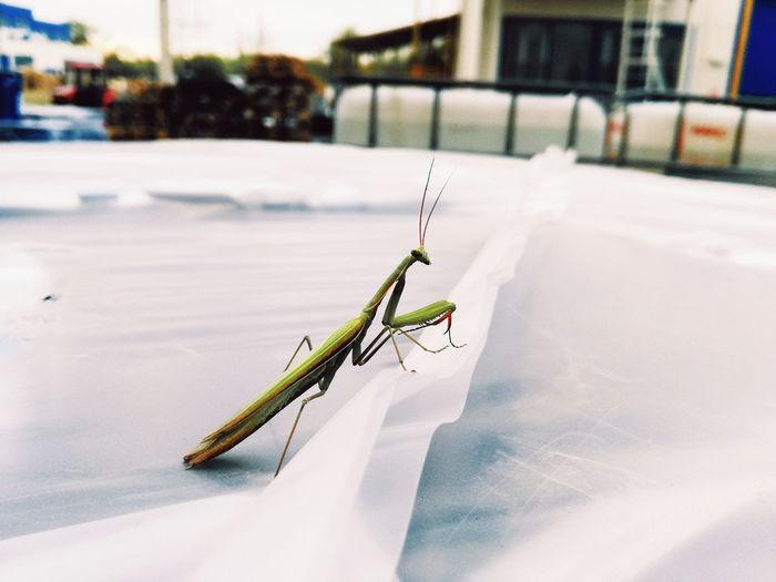 Side view of praying mantis on paper