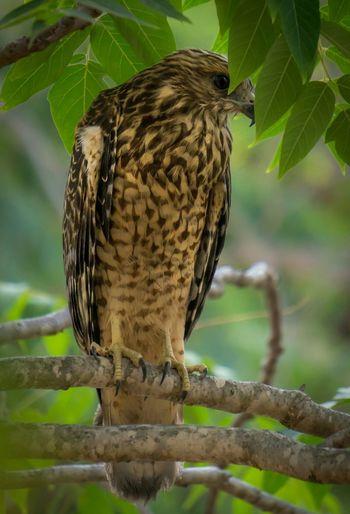 Cooper's Hawk hanging around the backyard.