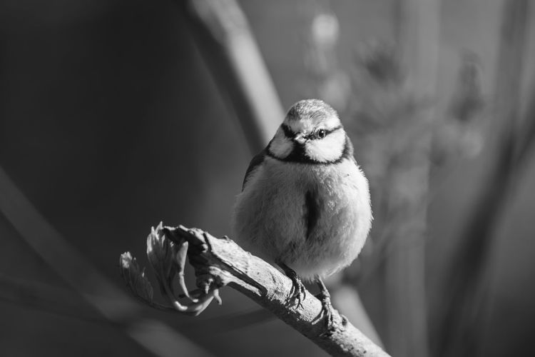 Close-up of bluetit perching on twig