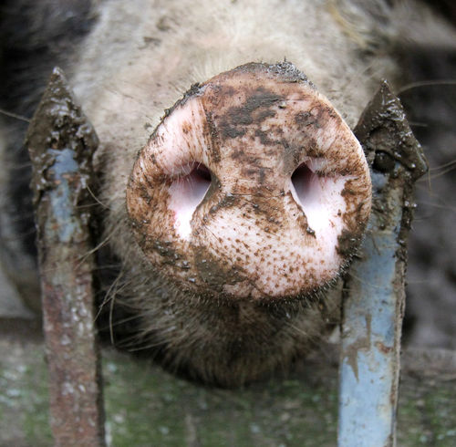 Animal Head  Animal Themes Bentheimer Close-up Curiosity Detail Dirty One Animal Part Of Photography Pig Pork Schwein Selective Focus Stall