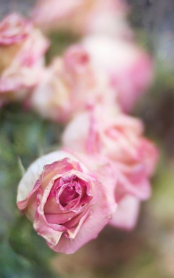 ❤️ rose Lensbaby  Oaktreeshutterbug Tomate_pauline Roses Rose🌹 Nature Nature_collection Pastel Lensbaby Edge 50