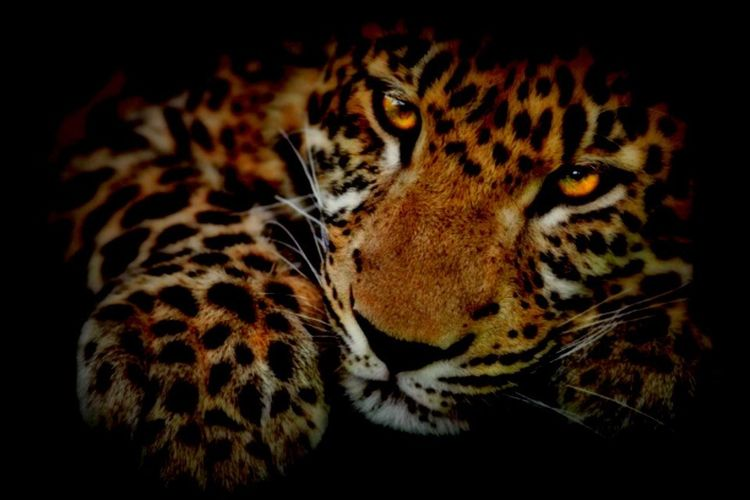 Jaguar! 🐆 lovee them so much!! 🐆🐆