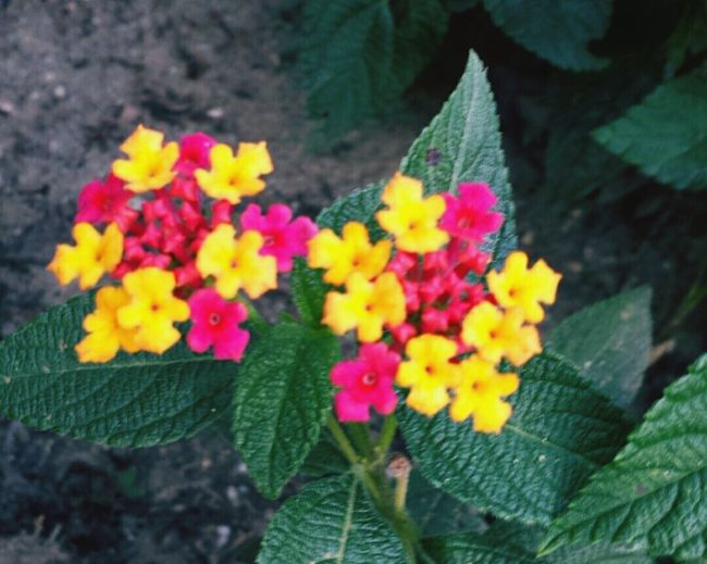 Flower Head Green Color Close-up Blooming Flower Growth Nature Red Color Yellow Color Snowflake Shape EyeEmNewHere
