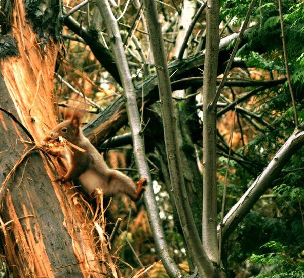 Eichhörnchen Redsquirrel Visitor