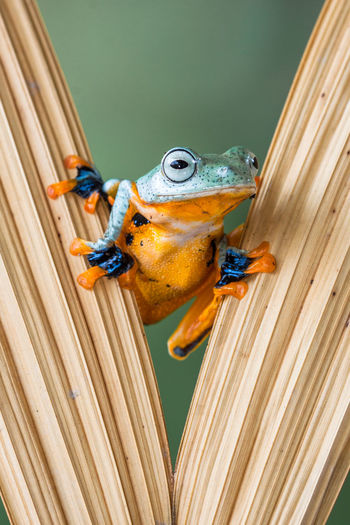 Wallace flying frog appears from behind leaf