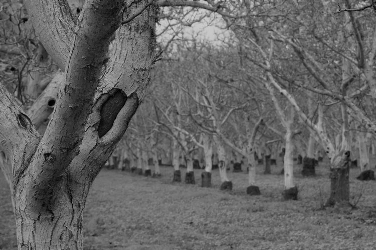 Bare Tree Barren Trees Beauty In Nature Black And White Branch Day Focus On Foreground Nature No People Orchard Outdoors Rows Of Trees Sky Tranquility Tree Tree Trunk Walnut Grove