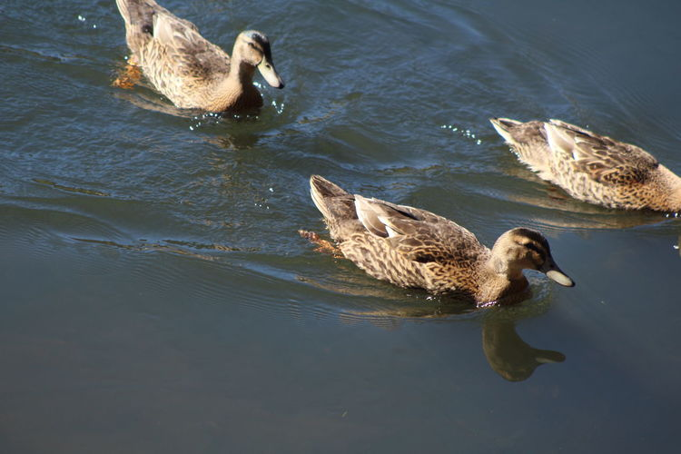 Water Animal Themes Animal Animals In The Wild Animal Wildlife Vertebrate Bird Group Of Animals Lake Swimming Young Animal Nature Waterfront No People Duck Day Young Bird Two Animals Poultry Outdoors Animal Family Floating On Water Gosling Cygnet