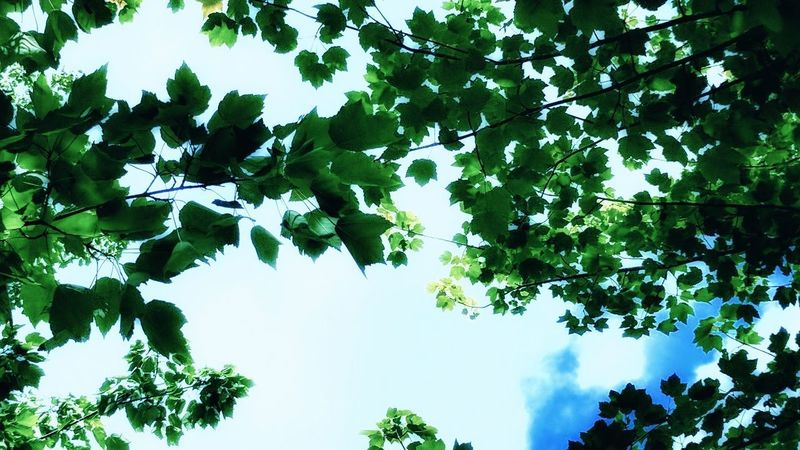 Tree Low Angle View Branch Green Color Leaf Outdoors Growth Day Nature Sky No People Beauty In Nature Freshness EyeEmNewHere