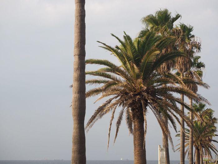 evening Kisarazu Canary Palm Chiba,Japan Sunset EyeEm Selects Tree Palm Tree Plant Tropical Climate Sky Growth Nature Outdoors