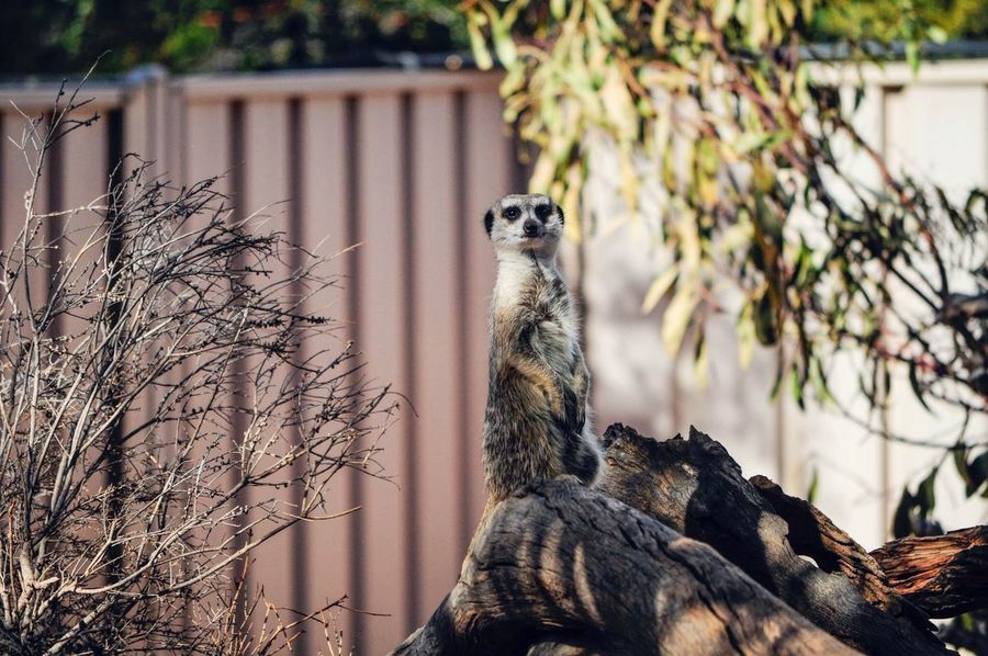 Inquisitive Meerkat Zoo Zoophotography Meerkat Day Focus On Foreground Mammal Outdoors Nature