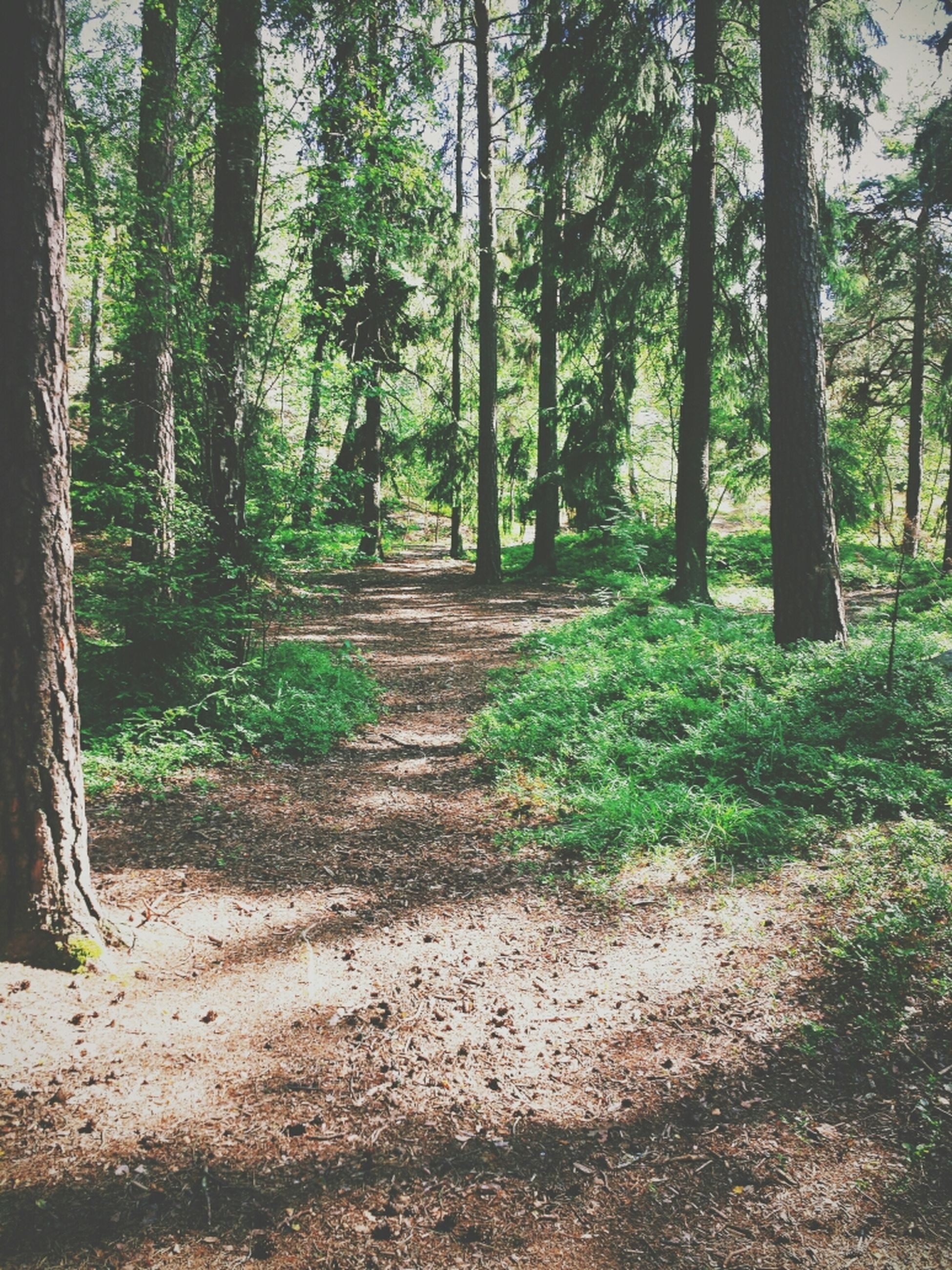 tree, tree trunk, forest, tranquility, growth, the way forward, tranquil scene, nature, beauty in nature, woodland, scenics, green color, footpath, sunlight, branch, shadow, non-urban scene, day, outdoors, landscape