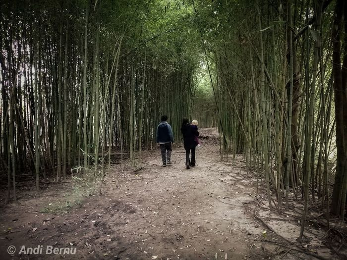 Forest Bamboo Grove Bamboo - Plant Togetherness Walking Rear View