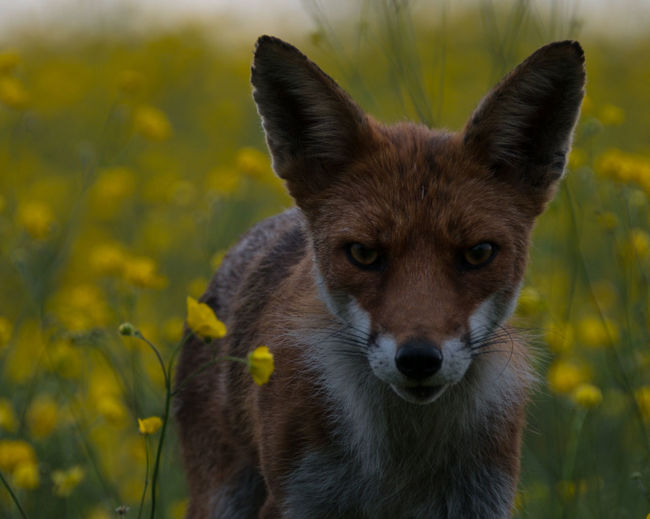 Portrait of fox on flower field