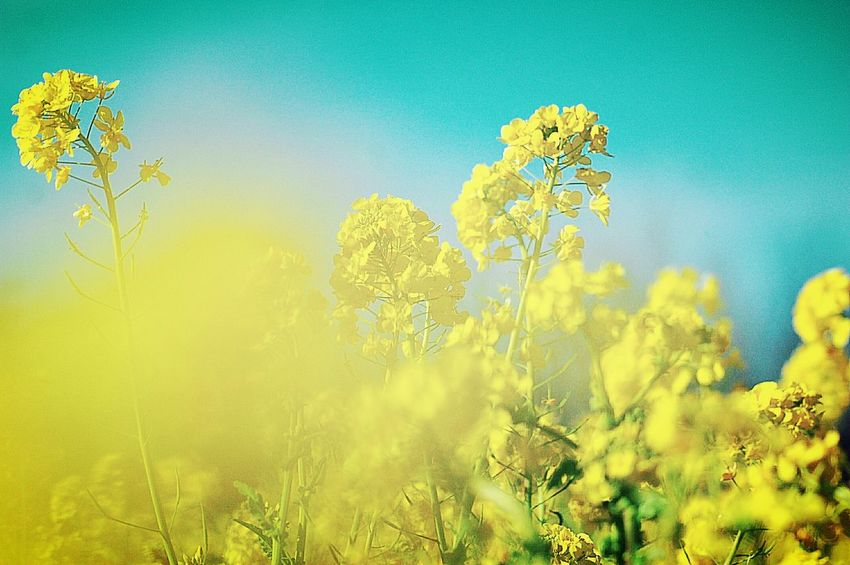 Relaxing Enjoying Life Bokeh Yellow Flower Flowerporn Colorful Fleshyplants Bokeheffect EyeEm Nature Lover Colors Flowers Flower Collection 菜の花 EyeEm Flower Blue Sky