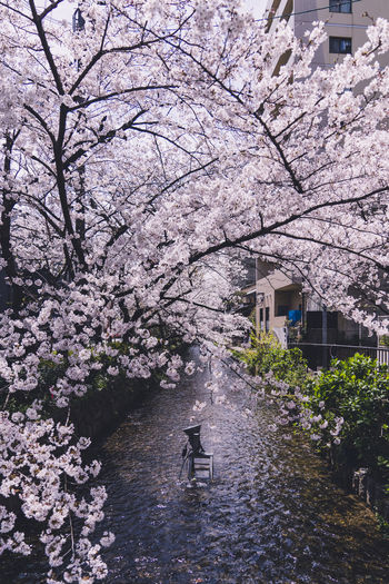 View of cherry blossom from flowers
