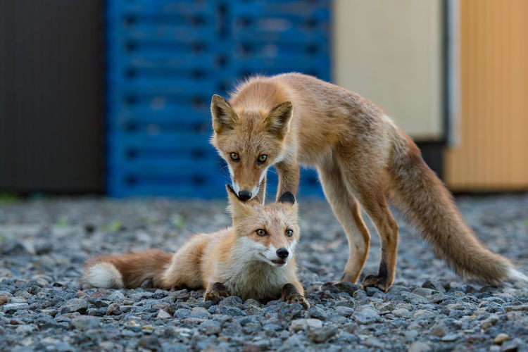 Foxy. ASIA Great Outdoors Japan Nature Wildlife & Nature Animal Behavior Animal Themes Animals Day Fox Looking At Camera Mammal No People Outdoors Shiretoko Togetherness Two Animals Wildlife Young Animal The Great Outdoors - 2018 EyeEm Awards