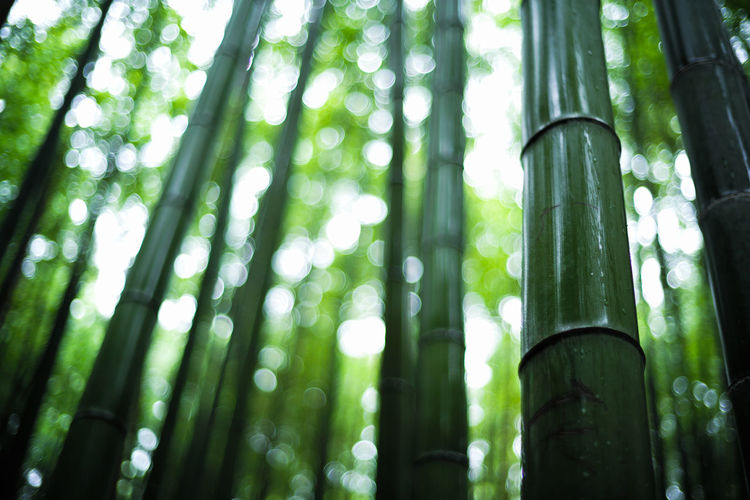 Arashiyama Arashiyama Bamboo Grove Arashiyamabambooforest Arashiyamabamboogrove Bamboo Bamboo - Plant Bamboo Grove Beauty In Nature Bokeh Day Focus On Foreground Forest Green Color Growth Land Low Angle View Nature No People Outdoors Plant Rainforest Tranquility Tree Tree Trunk WoodLand