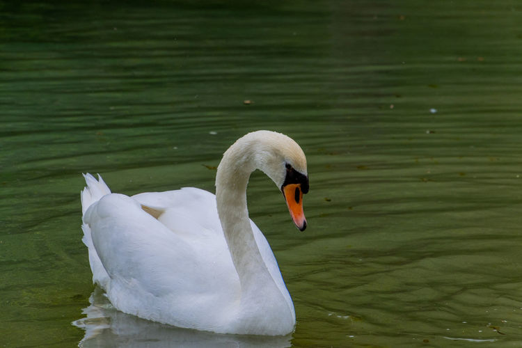 Swan floating on a lake