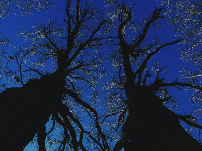 Tree Low Angle View Sky Blue Silhouette Nature Outdoors Branch Tree Trunk No People Landscape Beauty In Nature Day Bare Tree Tree Area Close-up Astronomy Wanderlust EyeEm Best Shots EyeEm Best Shots - Nature Space Scenics Clear Sky Beauty In Nature Capture Tomorrow