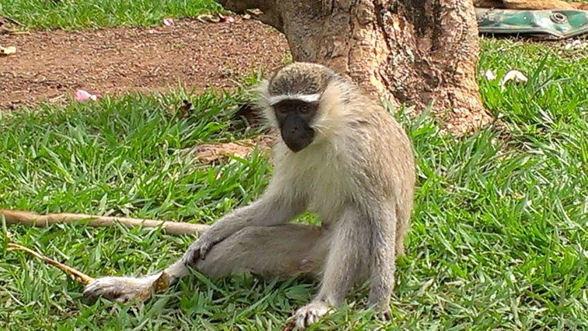 Monkey Sam Gangster Relaxing