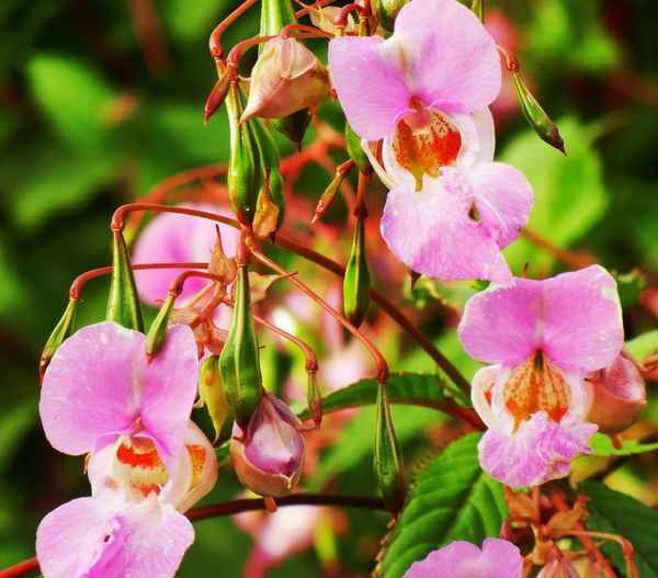 Wild Orchids in Preston Flowering Plant Flower Plant Beauty In Nature Growth Close-up Petal Fragility Freshness Pink Color Focus On Foreground Flower Head Day Nature No People Outdoors Pollen Plant Part