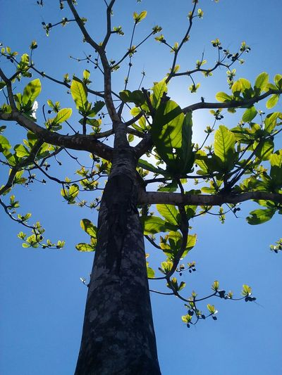 Carribbean Almond tree Almond Tree #standingtall #greenlife #trees #beautiful #sunny #summer #spring #sunshine #photosynthesis #leaves #newborn #bornagain #Fresh #new #branches #look Up #garden#sun#green#trees Tree Branch Clear Sky Blue Tree Trunk Sky Close-up